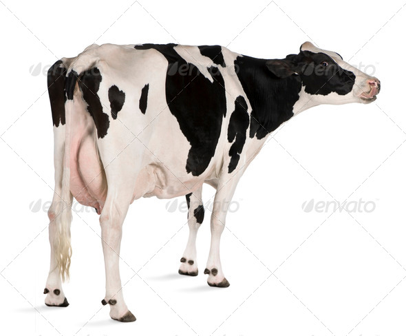 Holstein cow, 5 years old, standing in front of white background - Stock Photo - Images