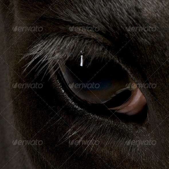 Close-up of Holstein Cow eye, 5 years old - Stock Photo - Images