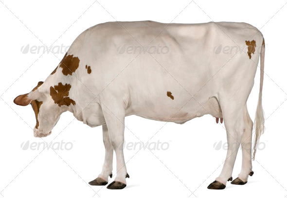Holstein cow, 4 years old, standing in front of white background - Stock Photo - Images