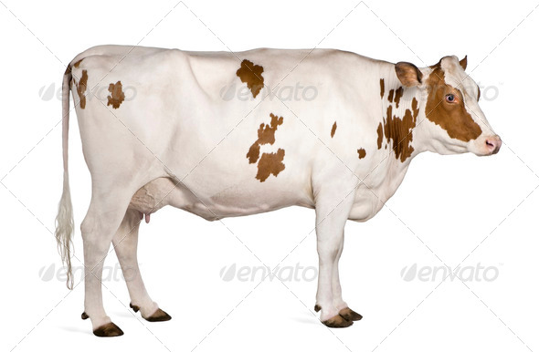 Holstein cow, 4 years old, standing against white background - Stock Photo - Images