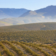 Olive tree fields in Andalusia. Spanish agricultural harvest landscape. Jaen - PhotoDune Item for Sale