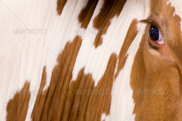 Holstein cow, 4 years old, looking at camera, close up on eye - Stock Photo - Images