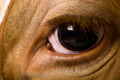 Holstein cow, 4 years old, looking at camera, close up on eye