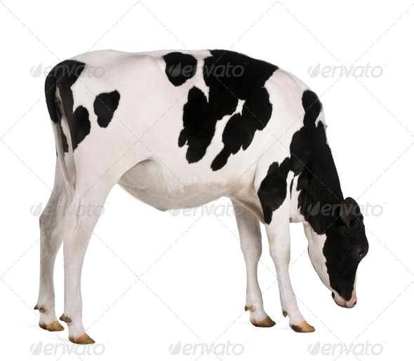 Holstein cow, 13 months old, standing against white background - Stock Photo - Images