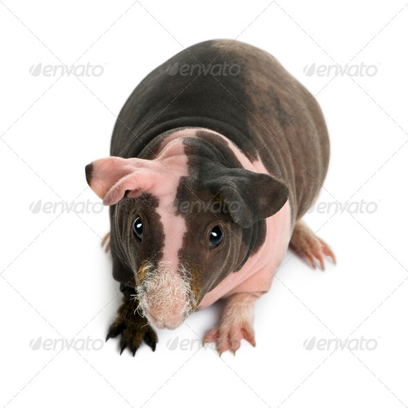 Hairless Guinea Pig standing against white background - Stock Photo - Images