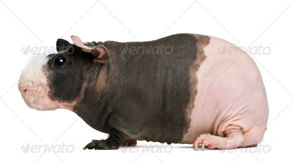 Hairless Guinea Pig in front of white background - Stock Photo - Images