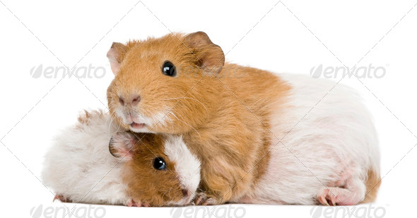 Guinea pig and her baby in front of white background - Stock Photo - Images
