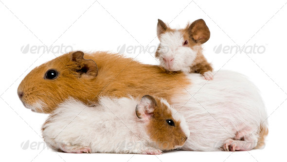 Guinea pig family in front of white background - Stock Photo - Images