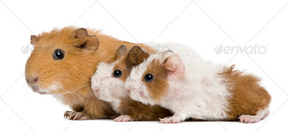 Mother Guinea Pig and her two babies against white background - Stock Photo - Images