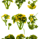 Broccoli flowers isolated - PhotoDune Item for Sale