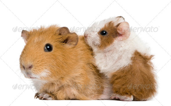 Mother Guinea Pig and her baby against white background - Stock Photo - Images