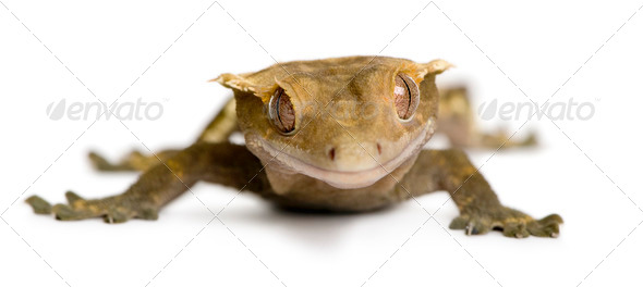 Front view of New Caledonian Crested Gecko against white background - Stock Photo - Images