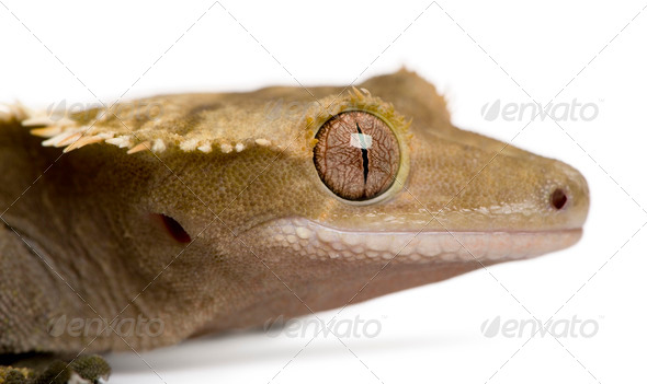 New Caledonian Crested Gecko, Rhacodactylus ciliatus, in front of white background - Stock Photo - Images
