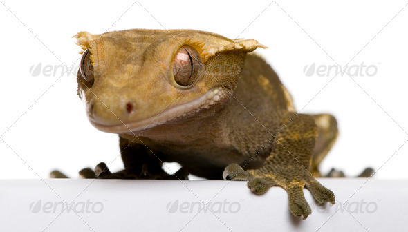 New Caledonian Crested Gecko against white background - Stock Photo - Images