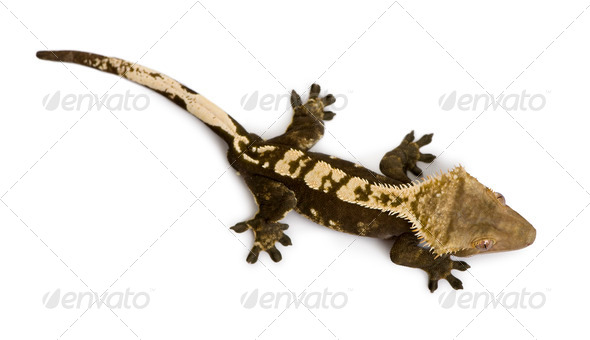High angle view of New Caledonian Crested Gecko, Rhacodactylus ciliatus, against white background - Stock Photo - Images