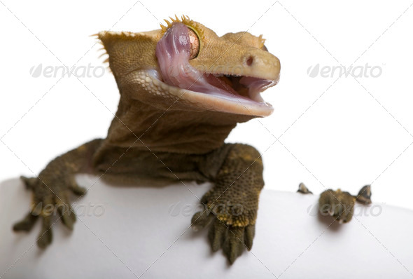 New Caledonian Crested Gecko licking eye against white background - Stock Photo - Images