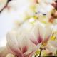 Magnolia - PhotoDune Item for Sale