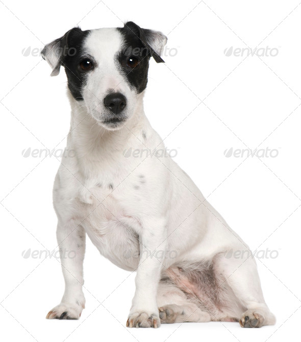 Jack Russell terrier, 7 years old, sitting in front of white background - Stock Photo - Images