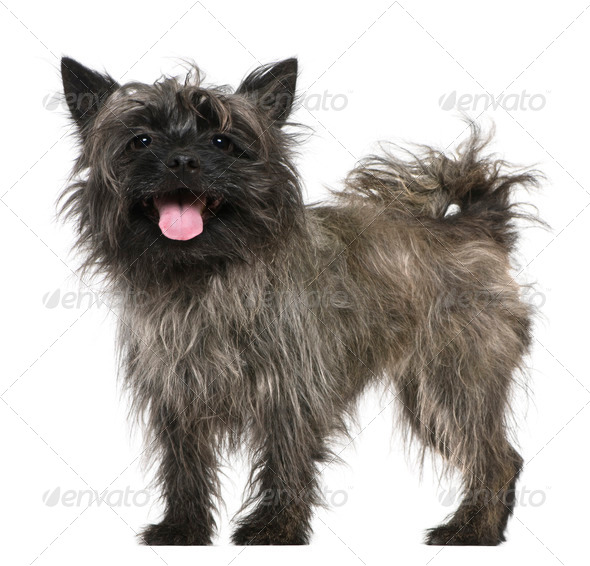 Mixed-breed, 3 years old, standing in front of white background - Stock Photo - Images