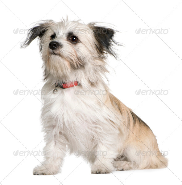 Chihuahua, 7 months old, sitting in front of white background - Stock Photo - Images