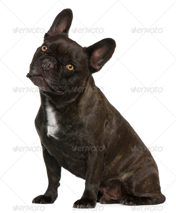 French Bulldog, 9 years old, sitting in front of white background - Stock Photo - Images