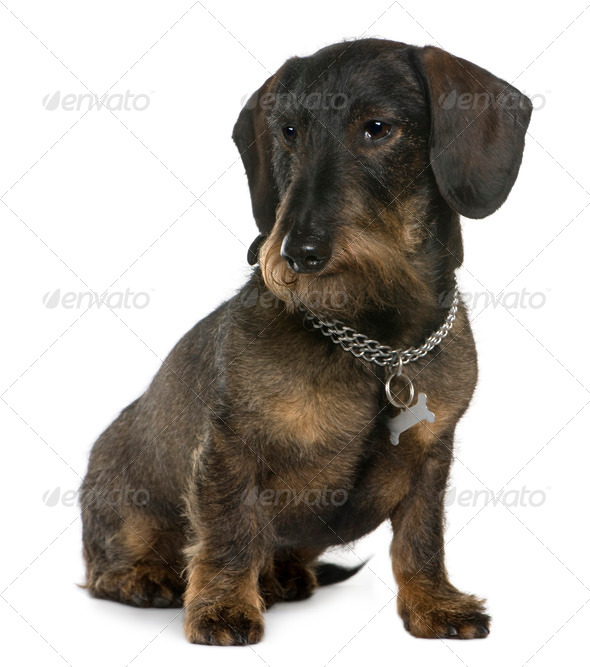 Dachshund, 11 years old, sitting in front of white background - Stock Photo - Images