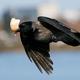Hooded crow (Corvus cornix) - PhotoDune Item for Sale
