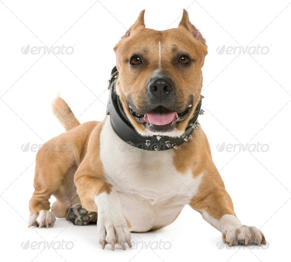 American Staffordshire Terrier, 5 years old, lying in front of white background - Stock Photo - Images