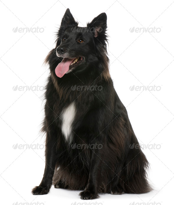 Bastard, 4 years old, sitting in front of white background - Stock Photo - Images