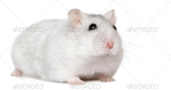 Hamster, 6months old, in front of white background - Stock Photo - Images