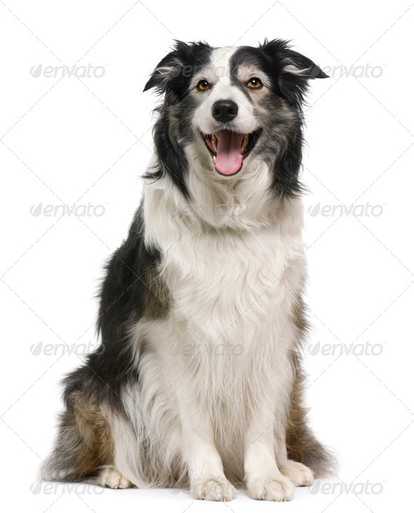 Border collie, 3 years old, lying in front of white background - Stock Photo - Images