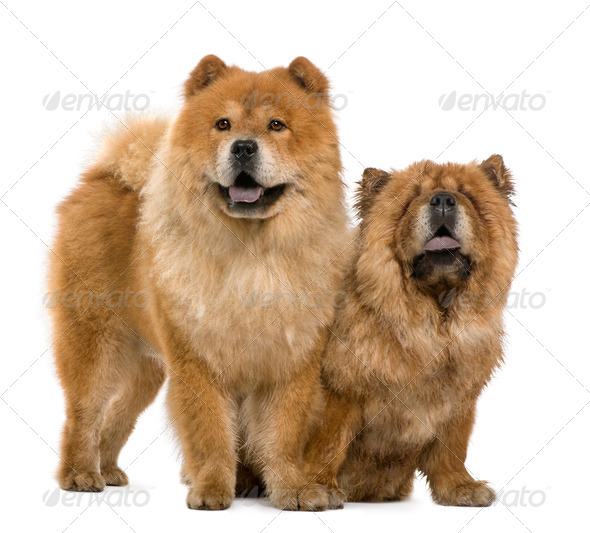 Chow chow, 5 and 6 years old, standing in front of white background - Stock Photo - Images