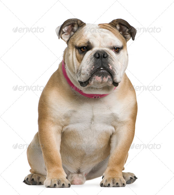 English bulldog, 11 months old, sitting in front of white background - Stock Photo - Images