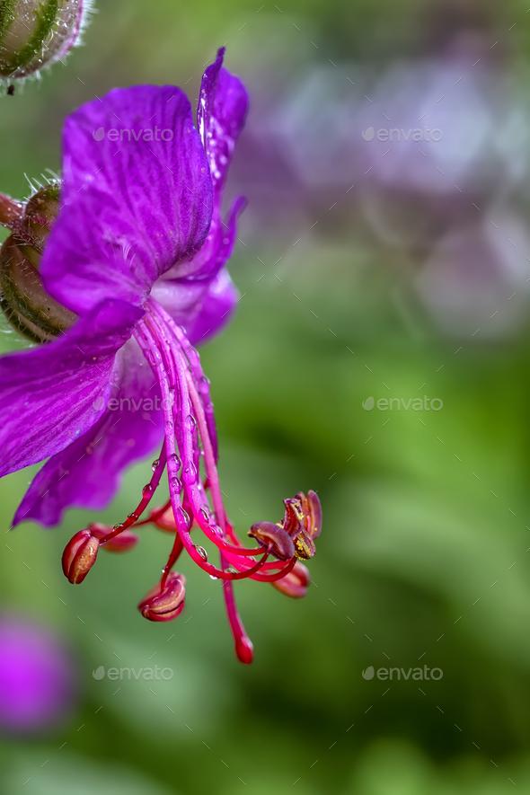 geranium - Stock Photo - Images
