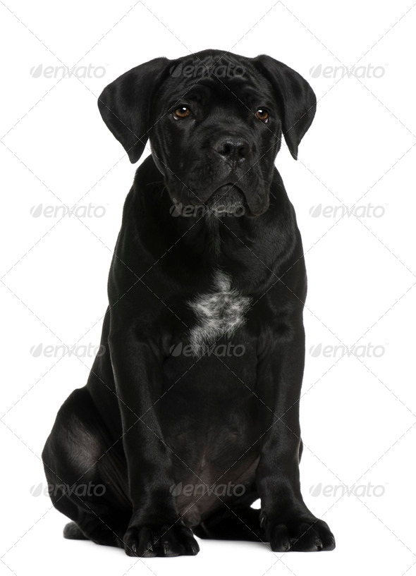 Cane corso puppy, 3 months old, sitting in front of white background - Stock Photo - Images