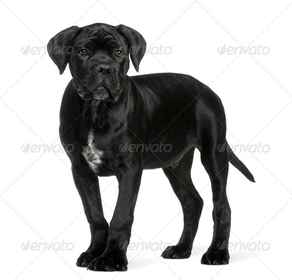 Cane corso puppy, 3 months old, standing in front of white background - Stock Photo - Images