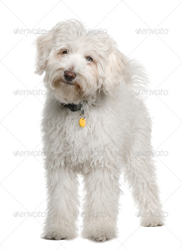 Maltese, 4 months old, standing in front of white background - Stock Photo - Images