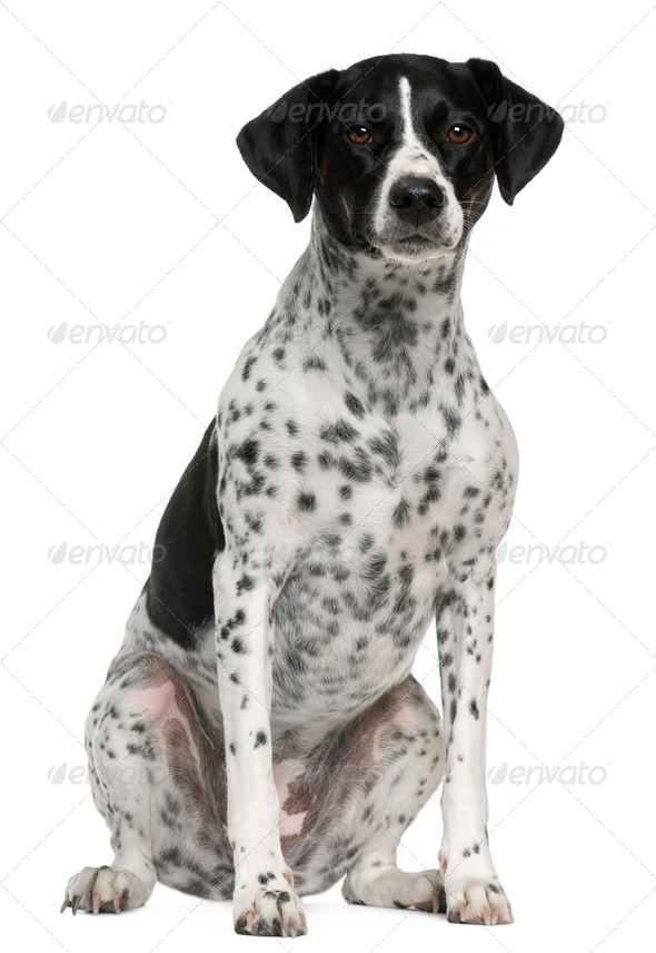 Braque pointer, 2 years old, sitting in front of white background - Stock Photo - Images