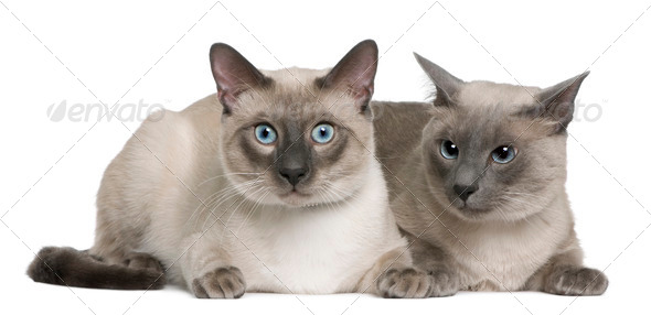 Siamese cat, 3 years old and 8 months old, lying in front of white background - Stock Photo - Images
