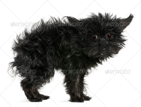 Chihuahua, 11 years old, with tousled hair standing in front of white background - Stock Photo - Images
