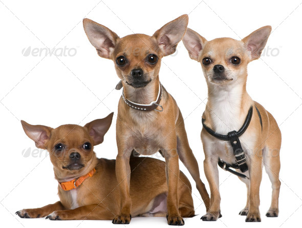 Chihuahua, 12 months, 12 months and 6 months old, standing and lying in front of white background - Stock Photo - Images