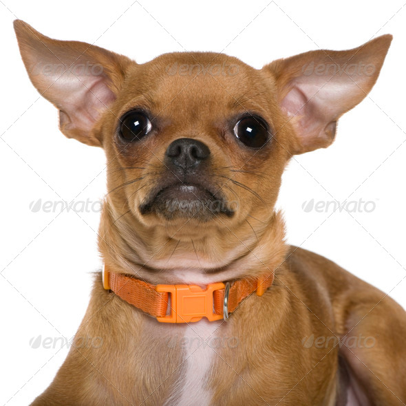 Chihuahua, 6 months old, close up against white background - Stock Photo - Images