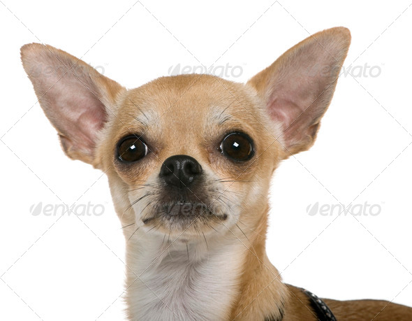 Chihuahua, 12 months old, close up against white background - Stock Photo - Images