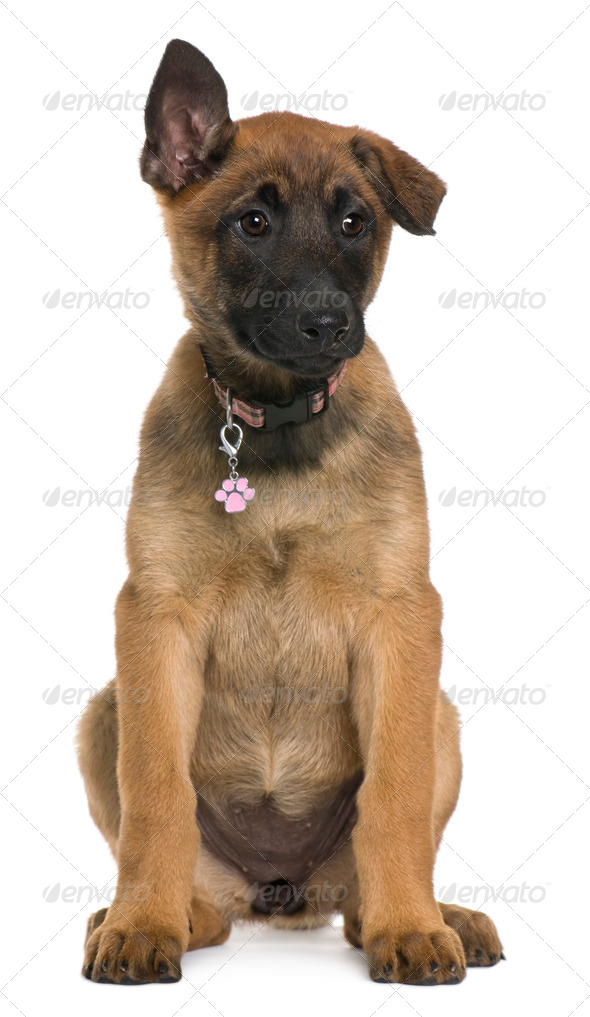 Belgian shepherd puppy, 3 months old, sitting in front of white background - Stock Photo - Images
