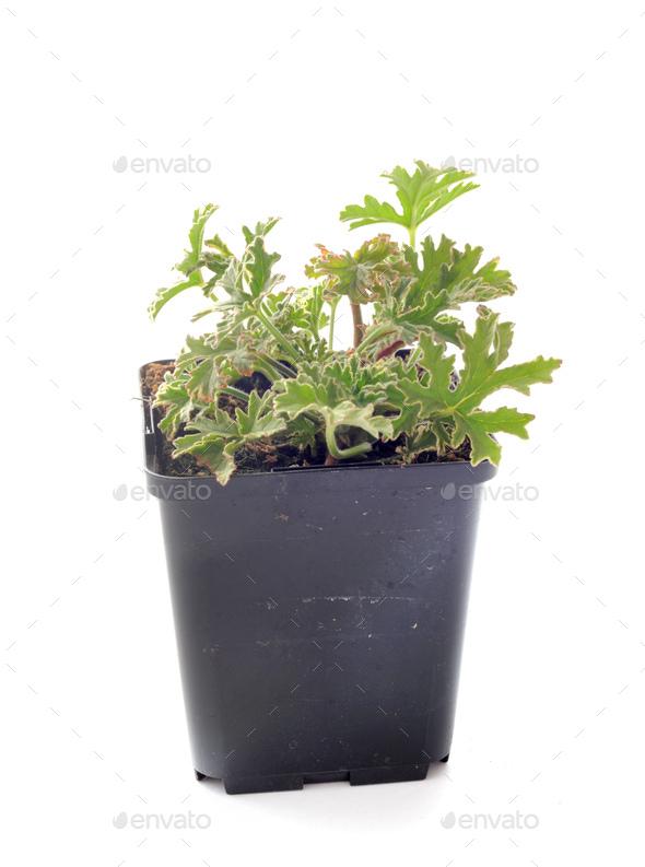 Pelargonium capitatum  in studio - Stock Photo - Images