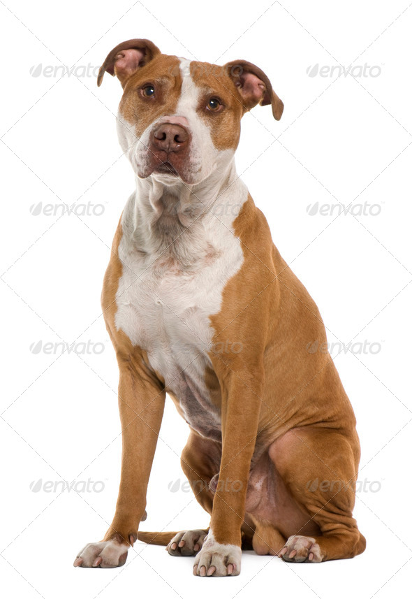 American Staffordshire terrier, 9 years old, sitting in front of white background - Stock Photo - Images