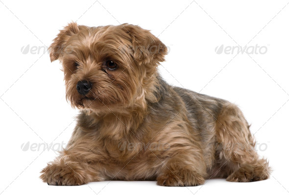 Yorkshire terrier, 6 years old, lying in front of white background - Stock Photo - Images
