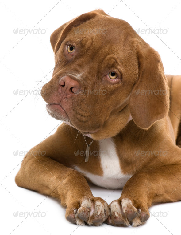 Dogue de Bordeaux puppy, 5 months old, lying in front of white background - Stock Photo - Images
