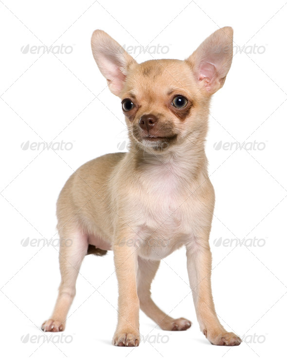 Chihuahua puppy, 5 months old, standing in front of white background - Stock Photo - Images