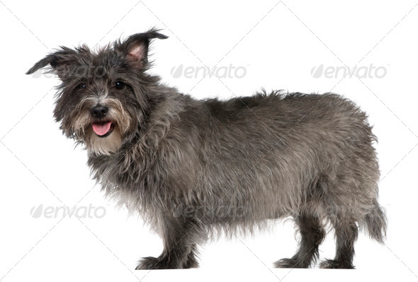 Mixed-breed, 8 years old, standing in front of white background - Stock Photo - Images